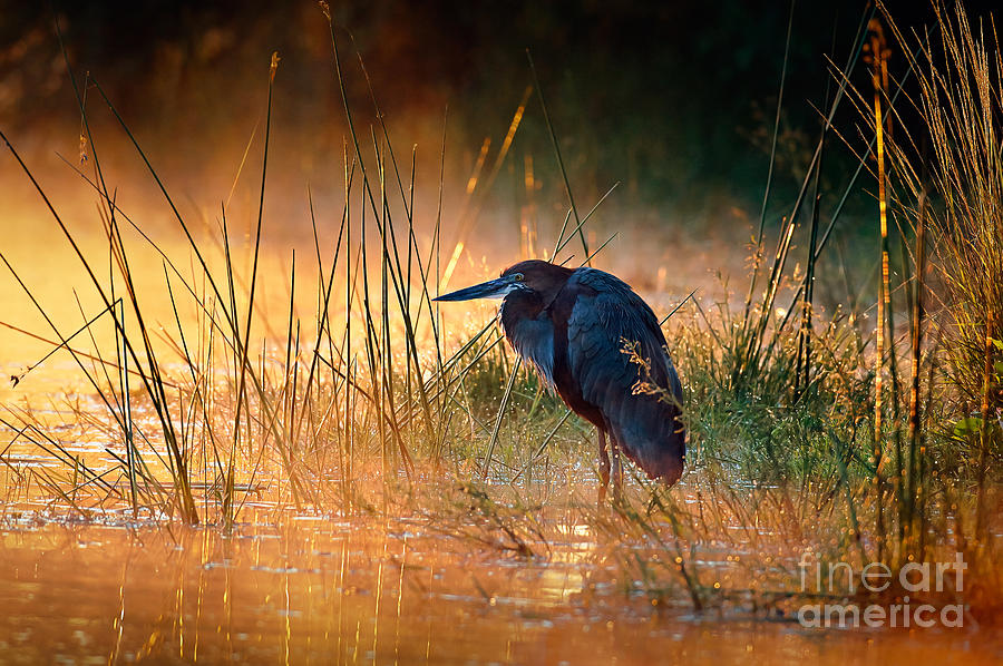 Bed Photograph - Goliath Heron Ardea Goliath With by Johan Swanepoel