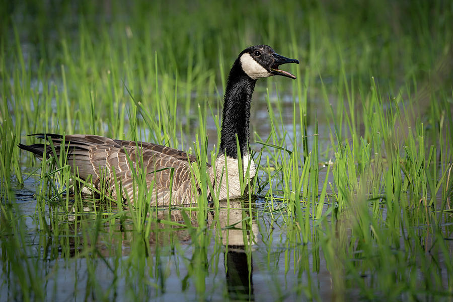 Goose 12 by David Heilman