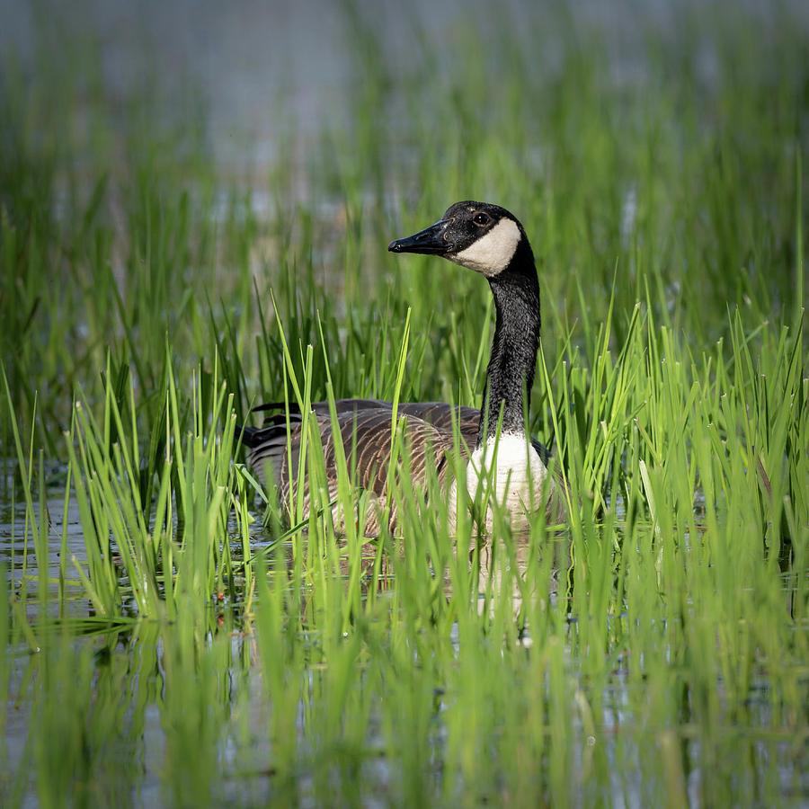 Goose 13 by David Heilman