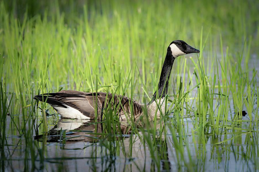 Goose 14 by David Heilman