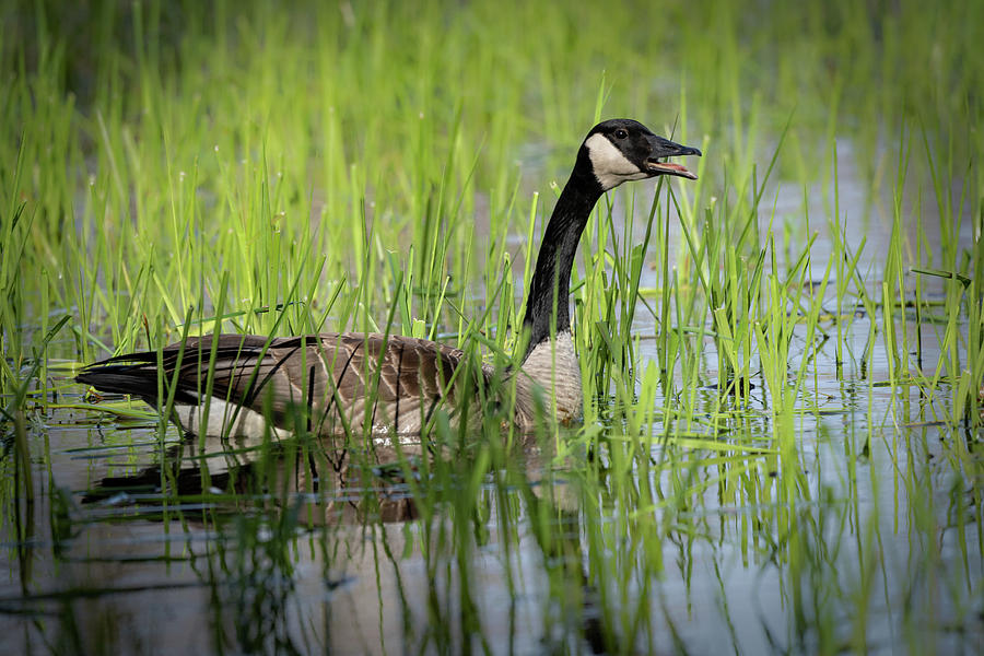 Goose 15 by David Heilman