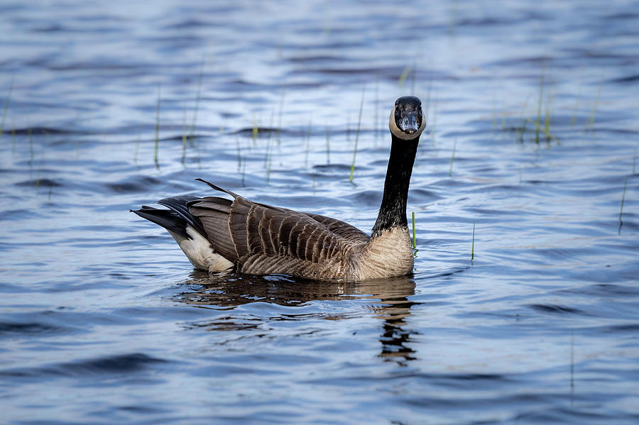 Goose 4 by David Heilman
