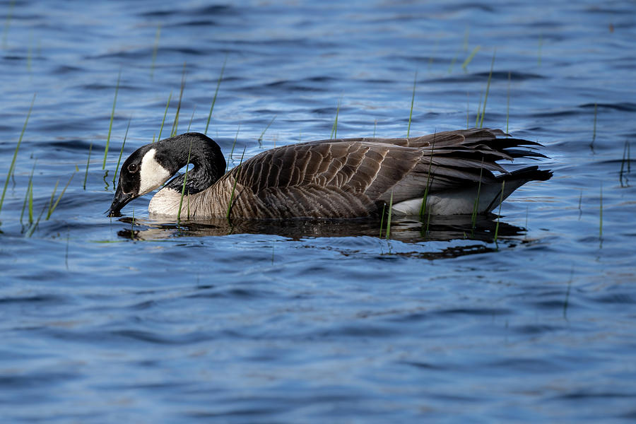 Goose 5 by David Heilman