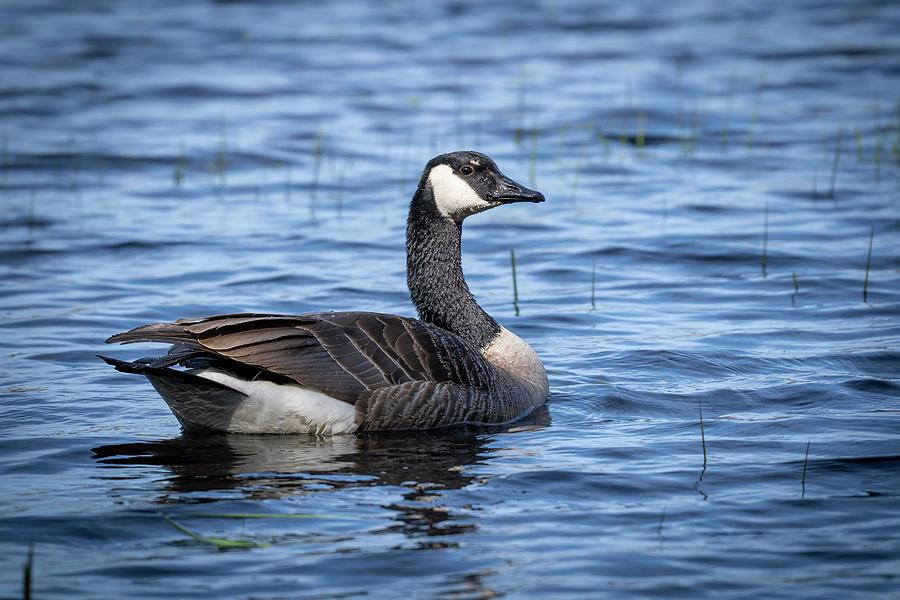 Goose 8 by David Heilman