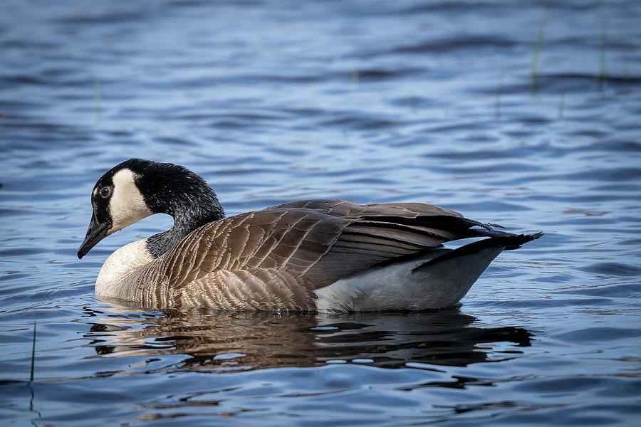 Goose 9 by David Heilman