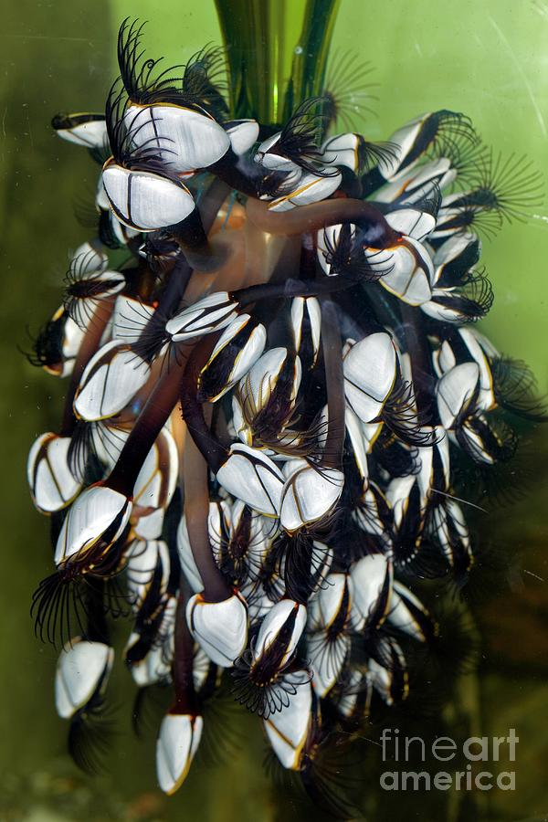 Goose Barnacle Photograph - Goose Barnacles Feeding by Dr Keith Wheeler/science Photo Library
