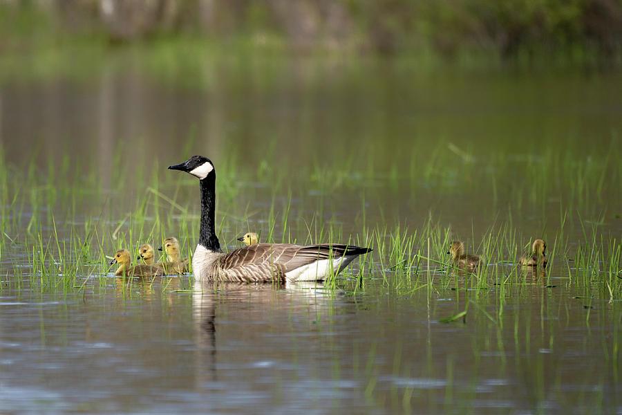 Goose family #1 by David Heilman