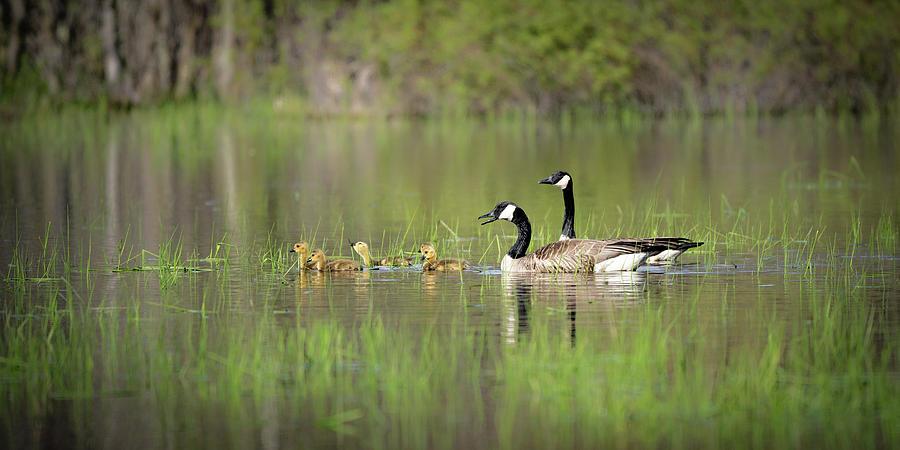 Goose family #2 by David Heilman
