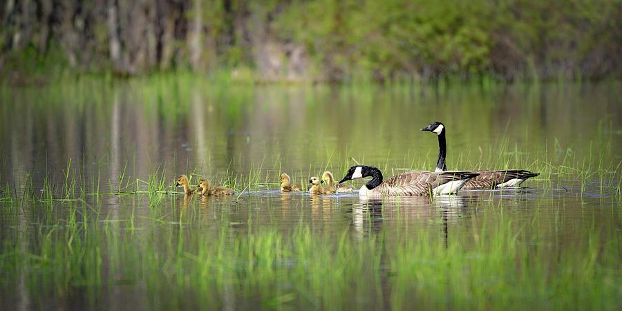 Goose family #3 by David Heilman