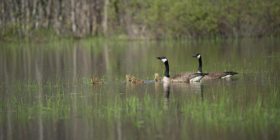 Goose family #4 by David Heilman