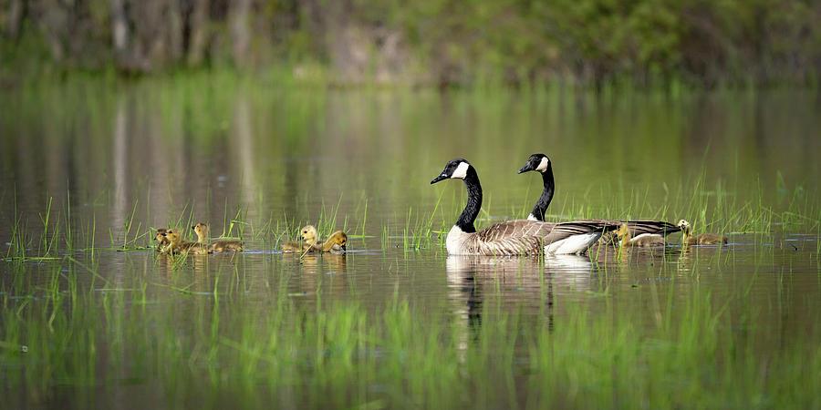Goose Family #6 by David Heilman