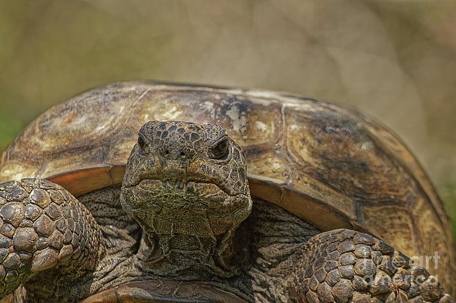 Gopher Tortoise  - 7449 by Marvin Reinhart