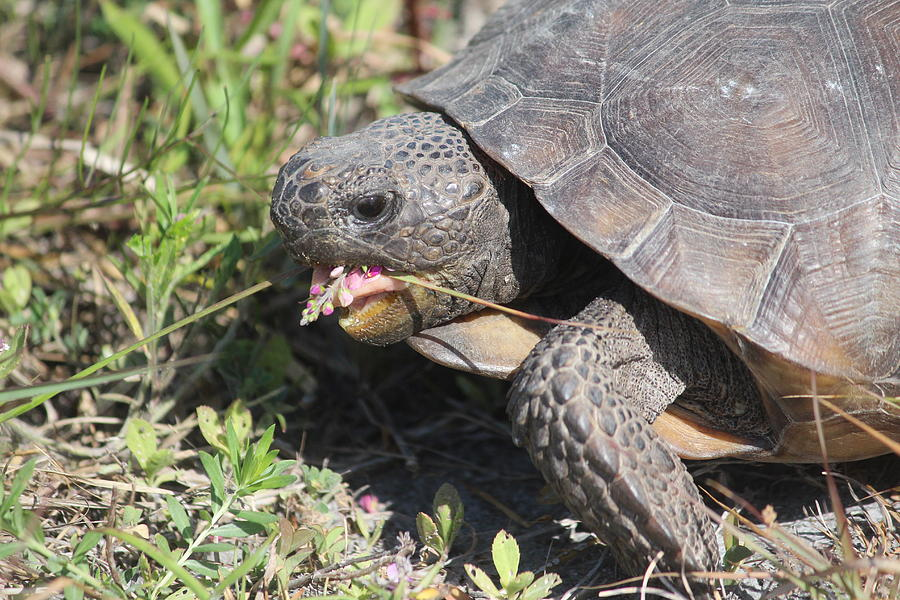 Reptile Photograph - Gopher Tortoise by Callen Harty
