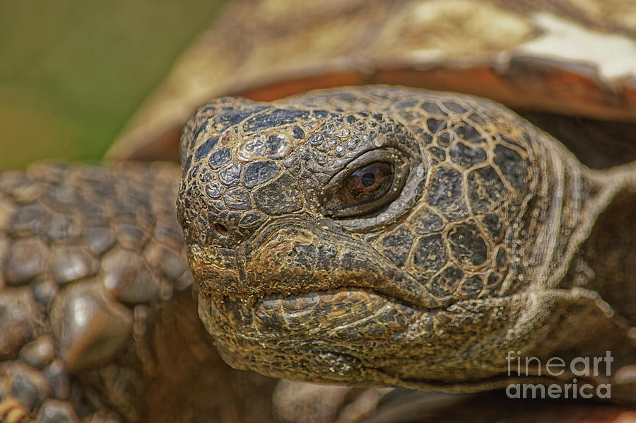 Gopher Tortoise Close-up - 7476 by Marvin Reinhart