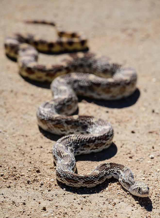 Gophersnake in Arizona by James Covello
