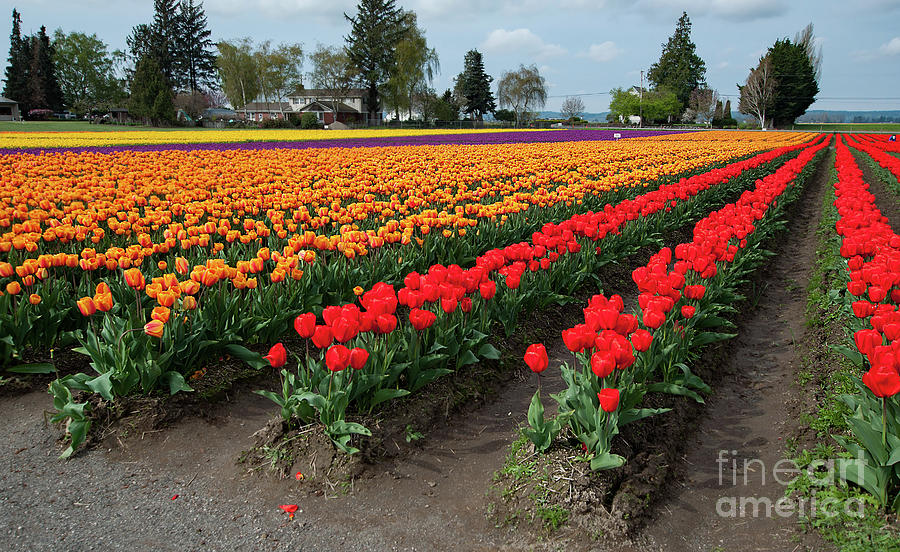 Gorgeous Colorful Tulip Fields by Valerie Garner