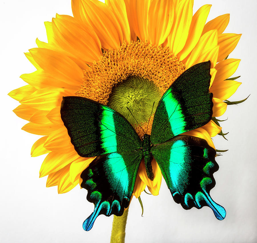 Gorgeous Photograph - Gorgeous Green Butterfly On Sunflower by Garry Gay