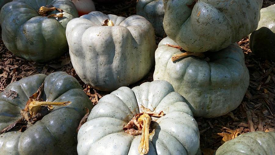 Gorgeous Green Pumpkins Photograph