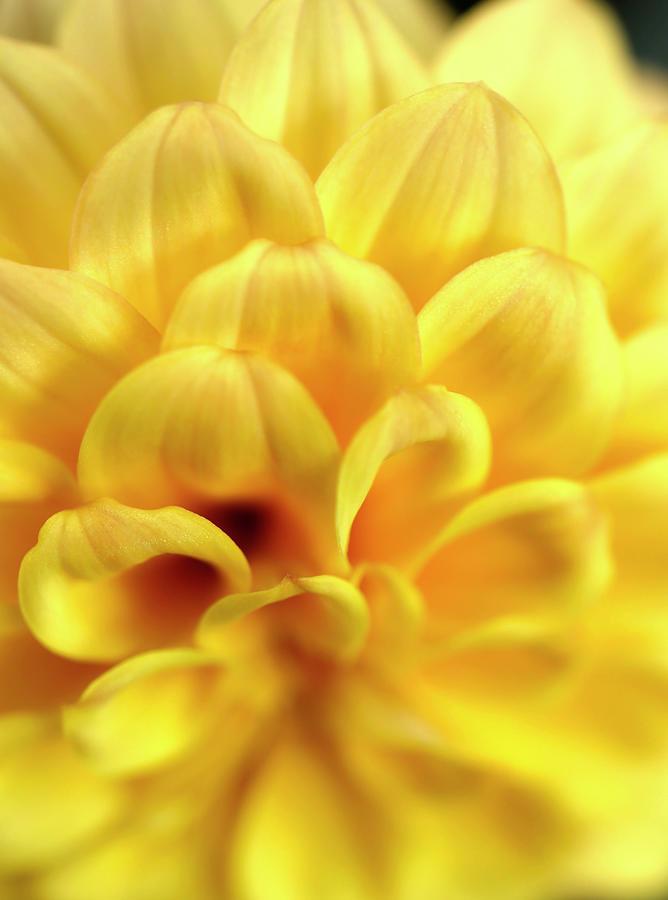 Gorgeous Yellow Dahlia Petals by Johanna Hurmerinta