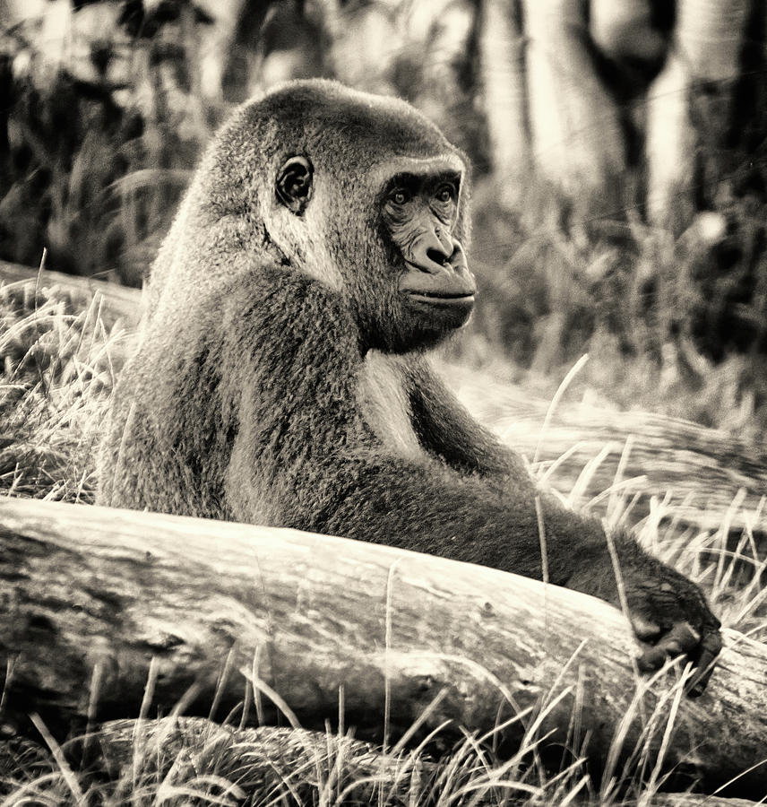 Gorilla 2 by Christopher Cutter