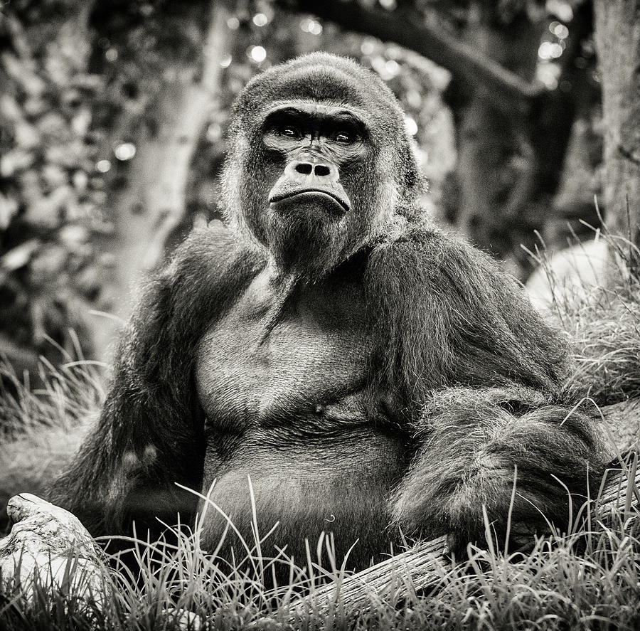 Gorilla by Christopher Cutter