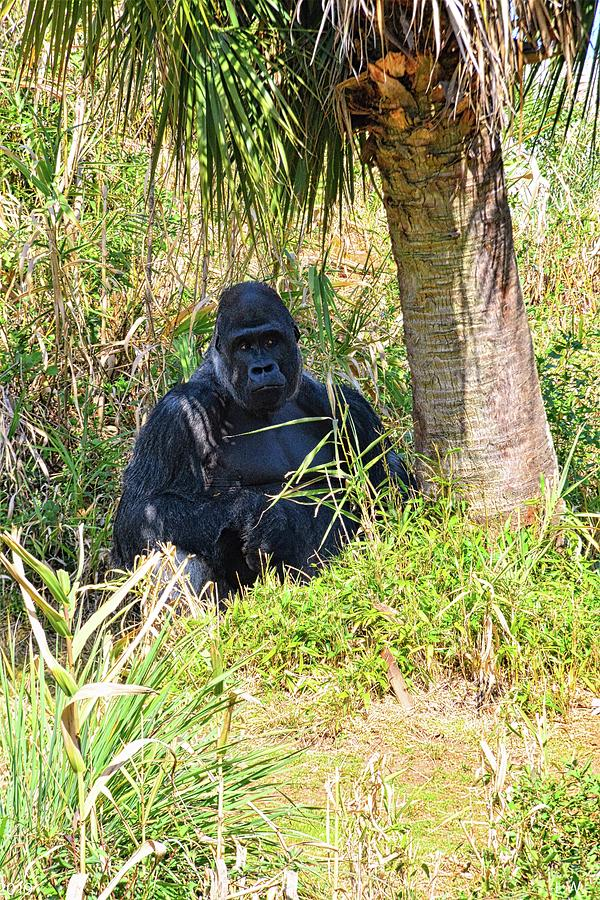 Gorilla by Lisa Wooten