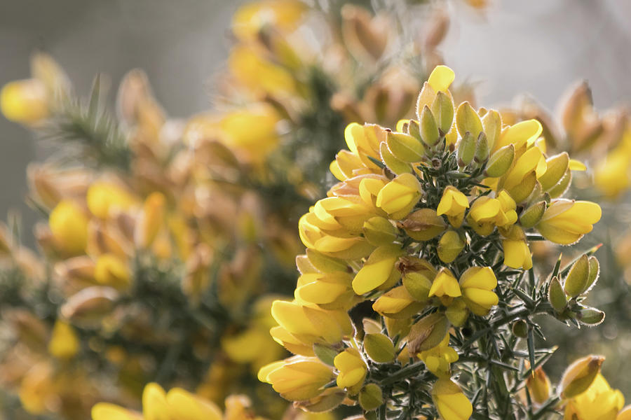 Gorse by Wendy Cooper