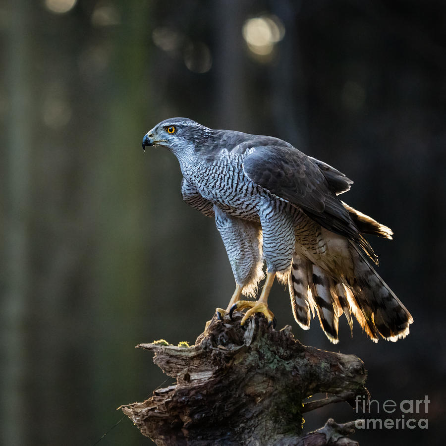 Feather Photograph - Goshawk Is Sitting On The Tree Stump by Lukas Gojda