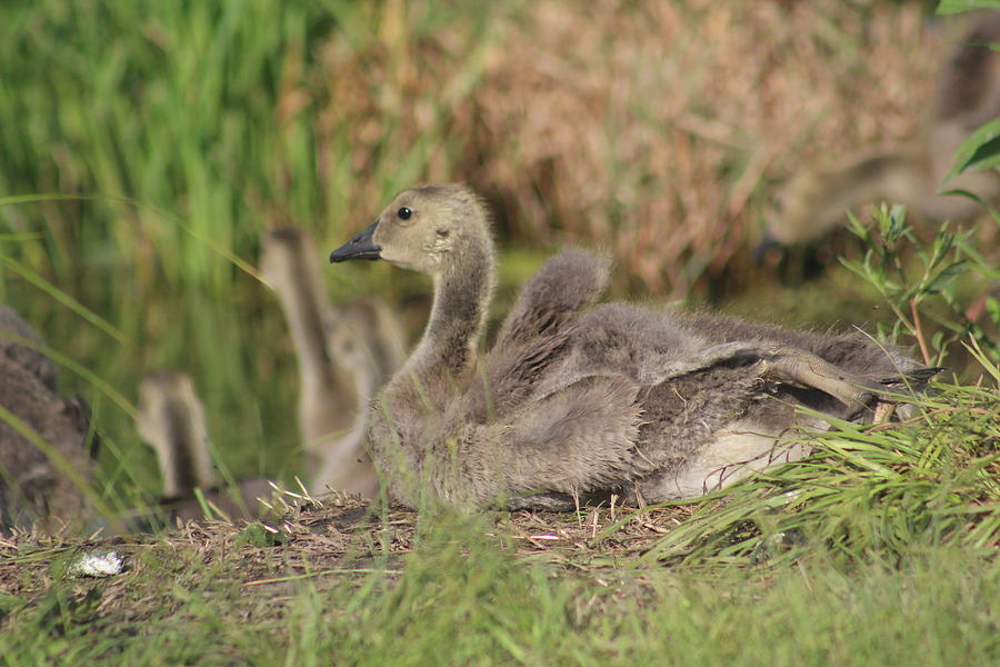 Gosling Photograph - Gosling by Callen Harty
