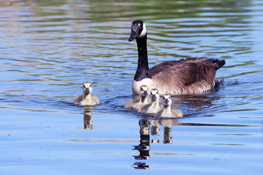 Goslings and Adult Canada Goose 7275-041519 by Tam Ryan