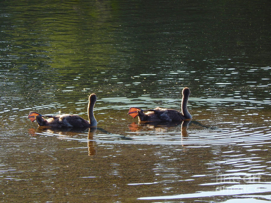 Geese Photograph - Goslings In River by Phil Perkins