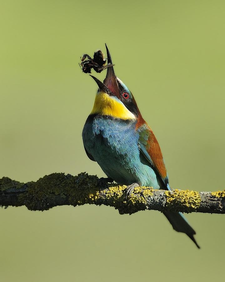 Bee-eater Photograph - Gotcha!! by Marco Pozzi