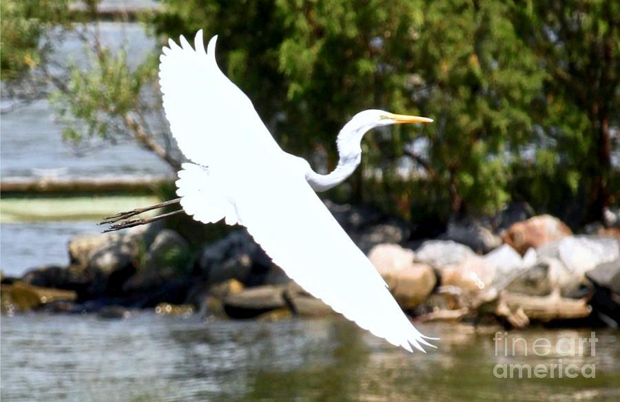 Graceful Egret by Tim Lent