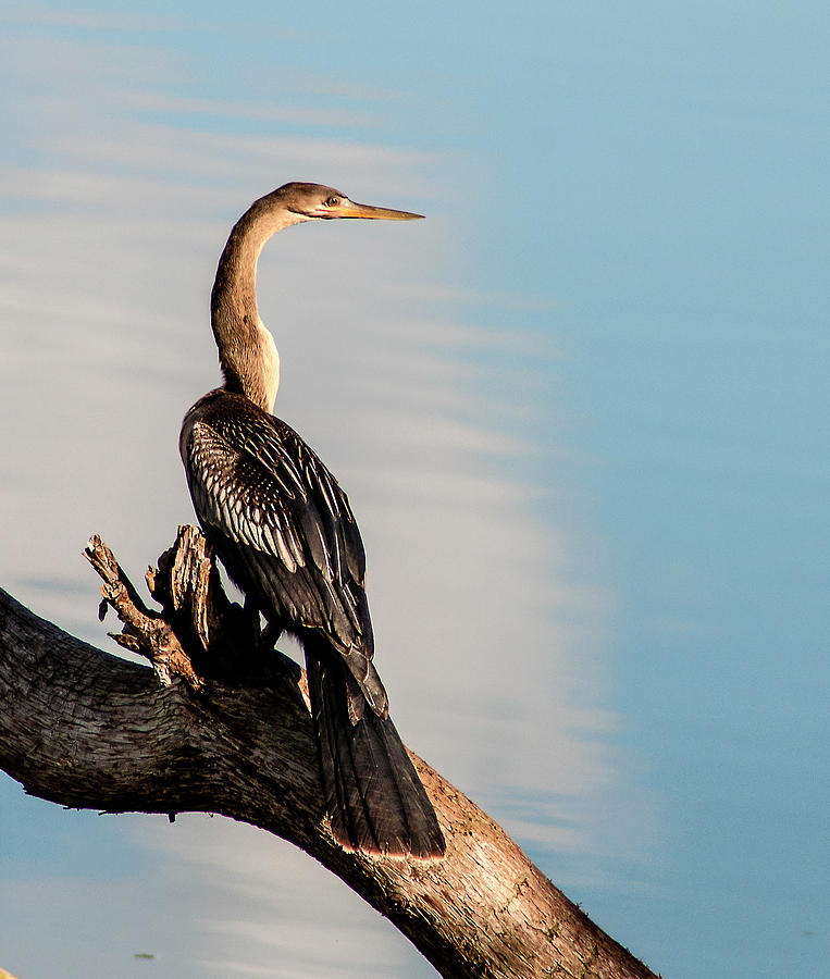 Anhinga Photograph - Graceful Neck by Norman Johnson