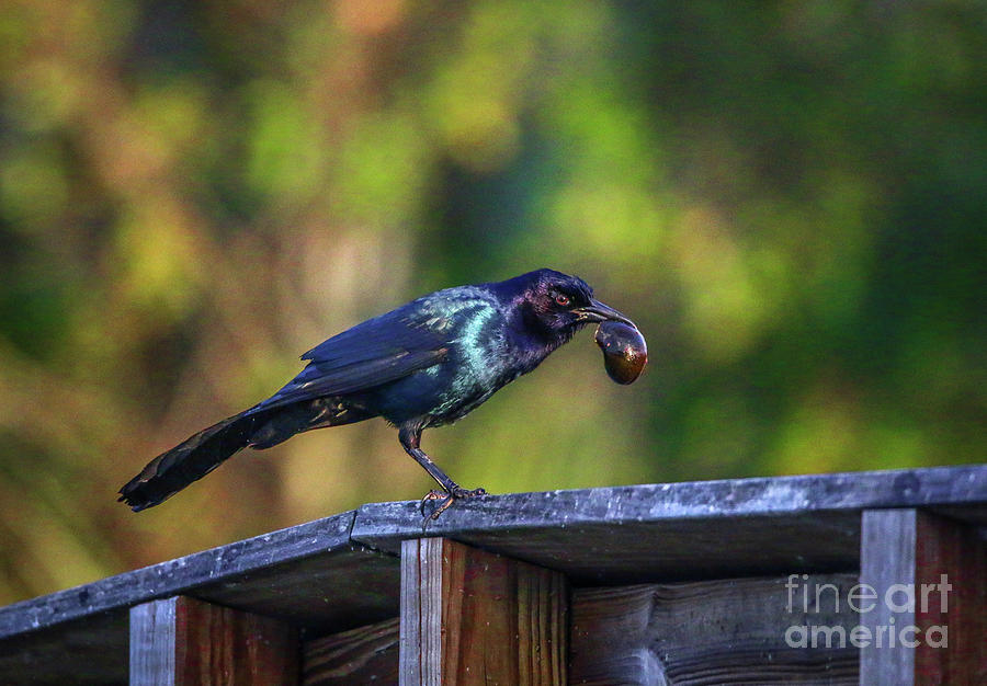 Grackle and Snail by Tom Claud