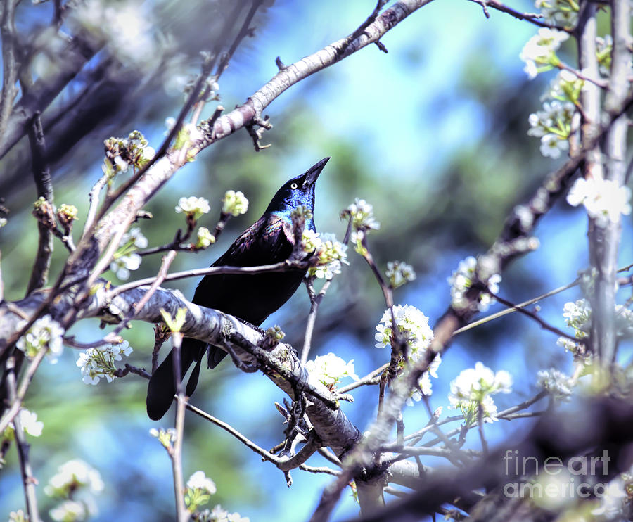 Grackle in the Blossoms by Kerri Farley