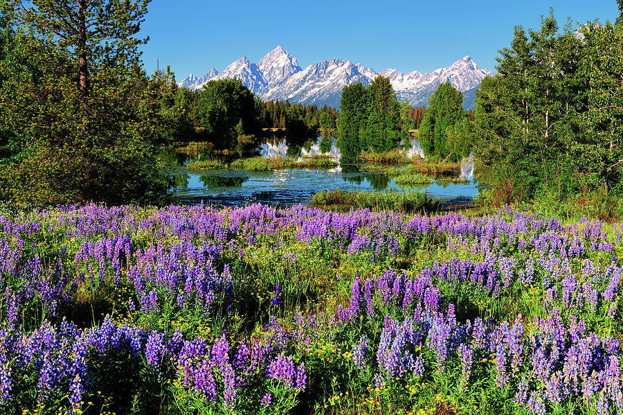 Grand Teton National Park Photograph - Grand Teton Lovely Lupines by Greg Norrell