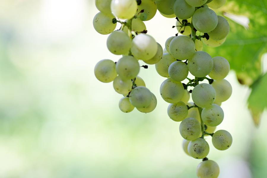 Grape Background Photograph by Hanis