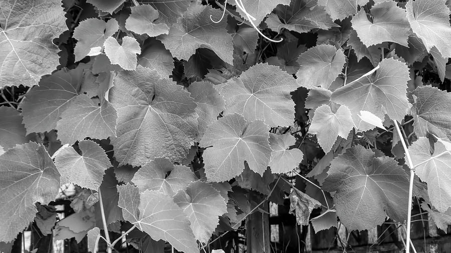 Grape Leaves BW by Cathy Anderson