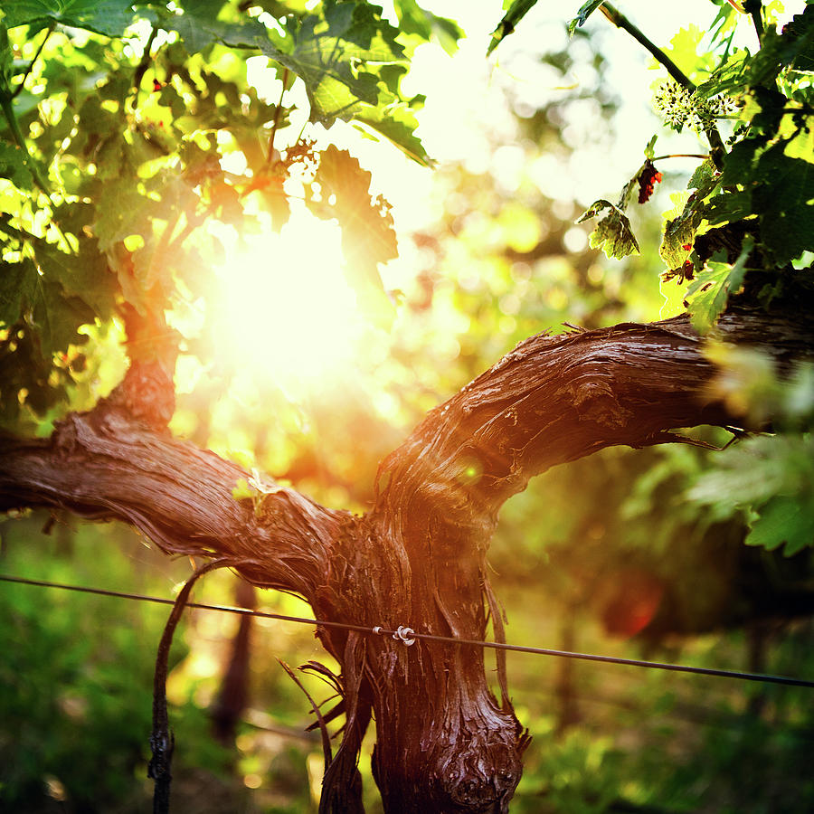Grape Vine And Trunk In Late Spring Photograph by Ryanjlane