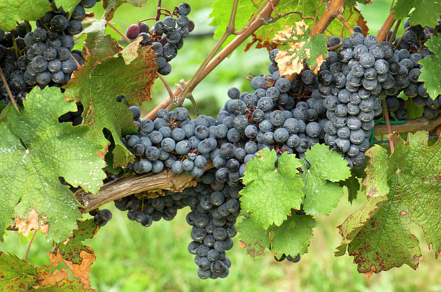 Grapes At Harvest Time Photograph by Jpecha
