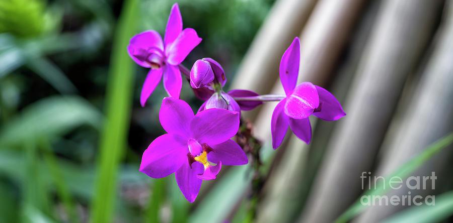 Grapette Ground Orchid by Felix Lai