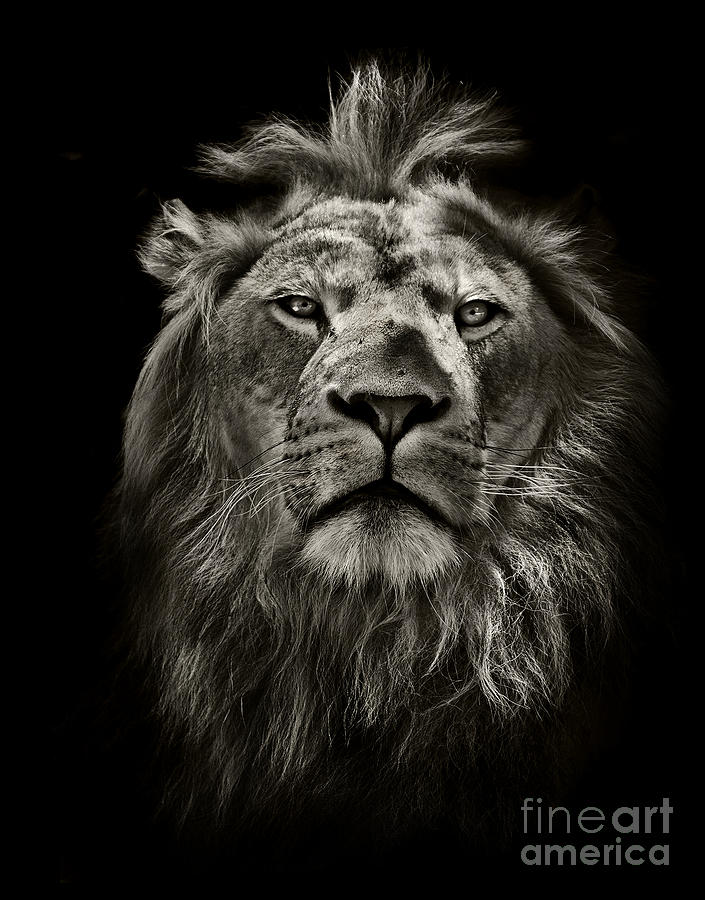 Leader Photograph - Graphic Black And White Lion Portrait by Mark Higgins