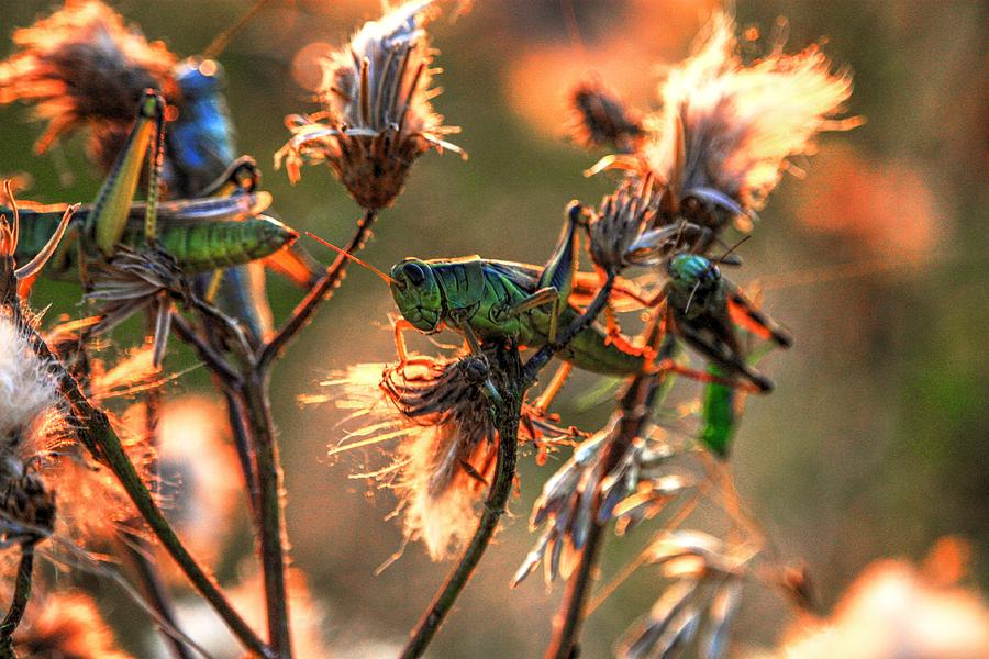 Grass hoppers by David Matthews