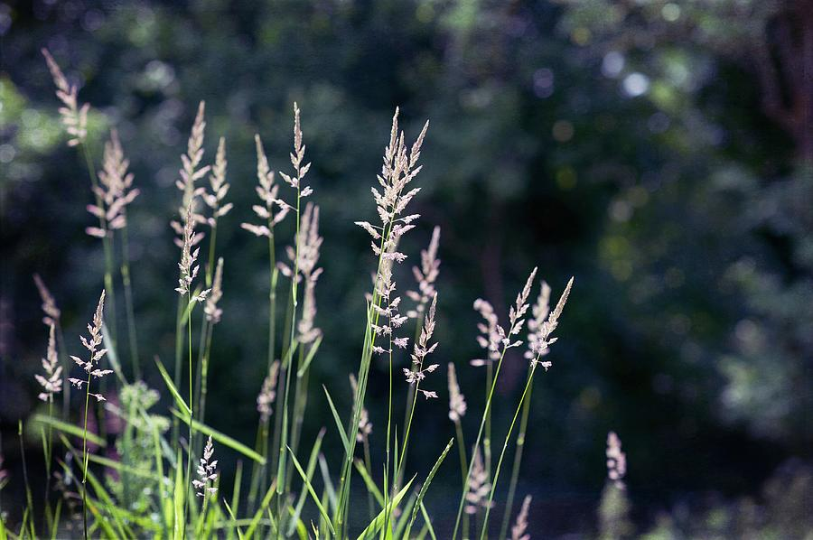 Grass In Seed Photograph by Denise Balyoz Photography