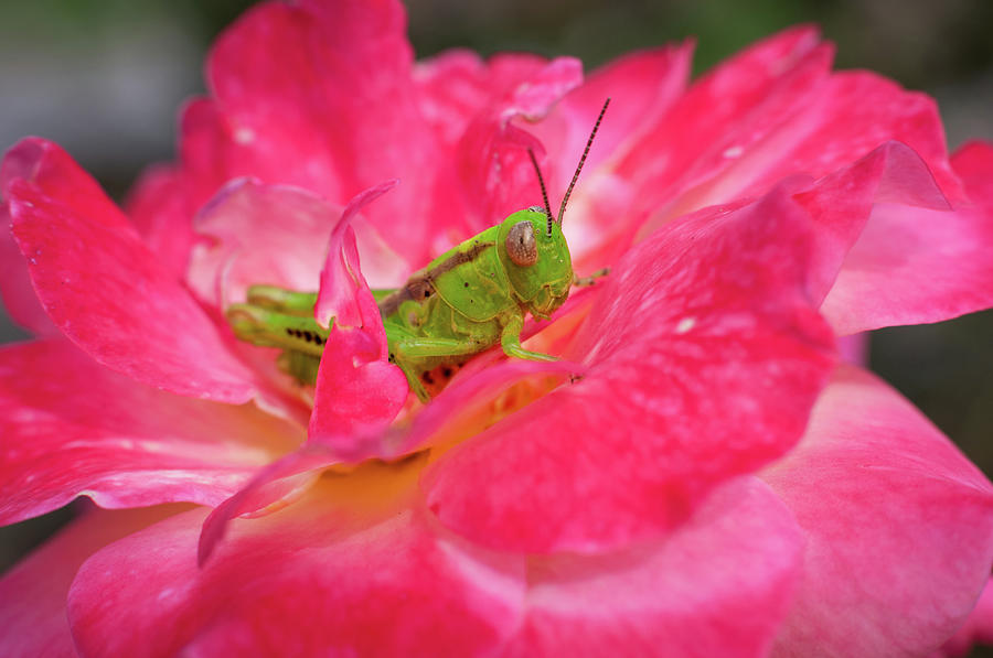 Grasshopper and Rose by Todd Henson