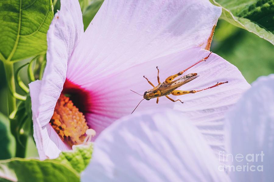 Grasshopper Finds a Flower. Photograph by Stephen Geisel