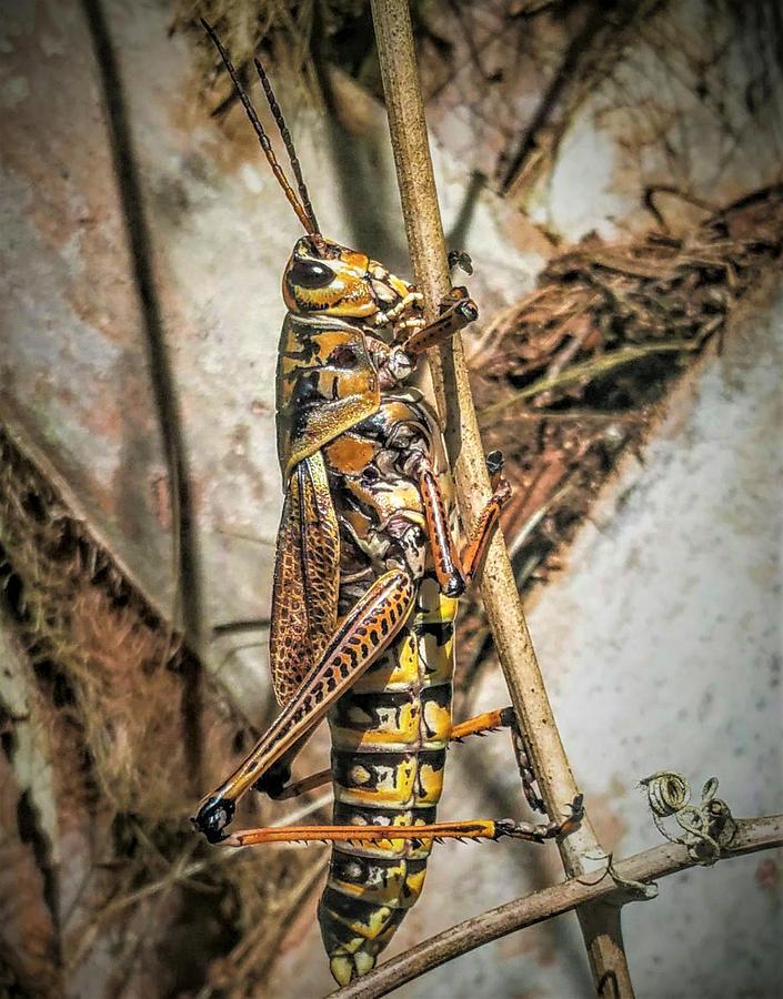Copyright Photograph - Grasshopper by Vincent Autenrieb