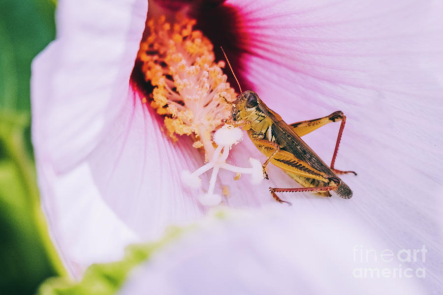 Grasshopper's Snack. Nature Photograph by Stephen Geisel