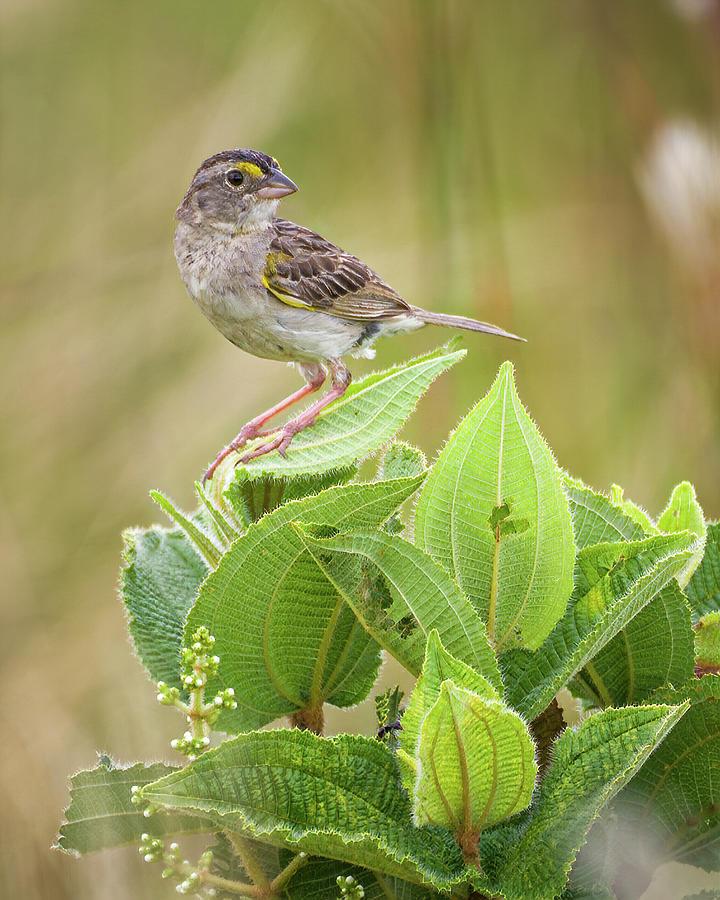 Grassland Sparrow Hato Barley Tauramena Casanare Colombia by Adam Rainoff